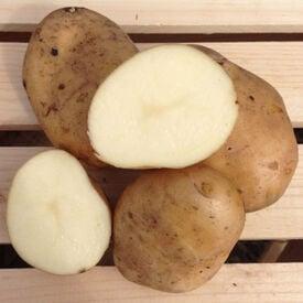 Kennebec, Seed Potatoes