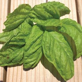 Lettuce Leaf, Basil Seeds