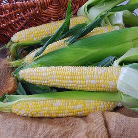 Nectar, (F1) Corn Seed