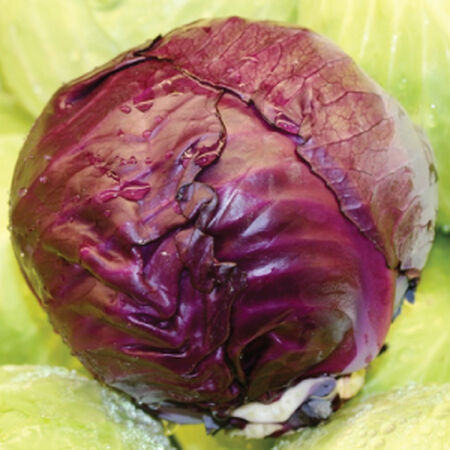 Red Express, Organic Cabbage Seeds image number null