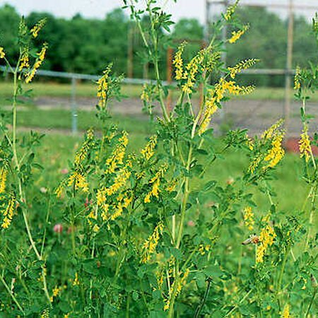 Sweet Clover, Legumes - 1 Pound image number null