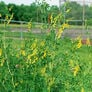 Sweet Clover, Legumes - 1 Pound thumbnail number null