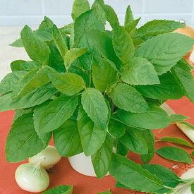 Common, Caraway Seeds