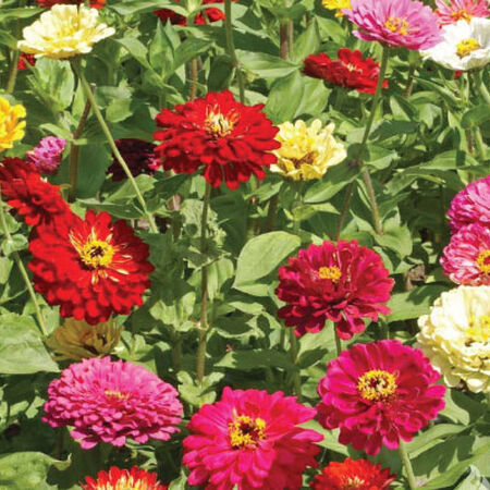 State Fair, Zinnia Seeds - Packet image number null