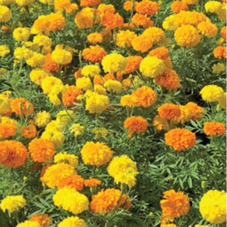 Crackerjack, Marigold Seeds - Packet image number null