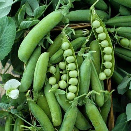 Alaska, Pea Seeds - Packet (1 oz.) image number null