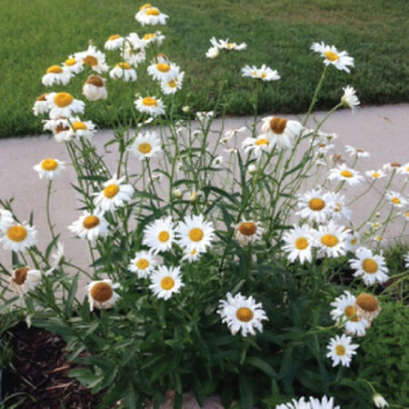 Shasta, Daisy Seeds - Packet image number null