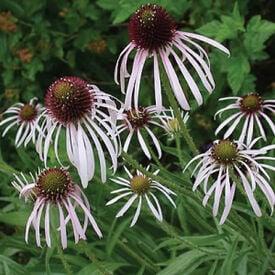 Pale Purple, Echinacea Seeds