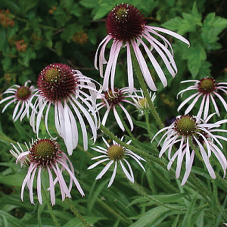 Pale Purple, Echinacea Seeds - Packet image number null