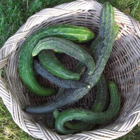 Suyo Long, Organic Cucumber Seeds