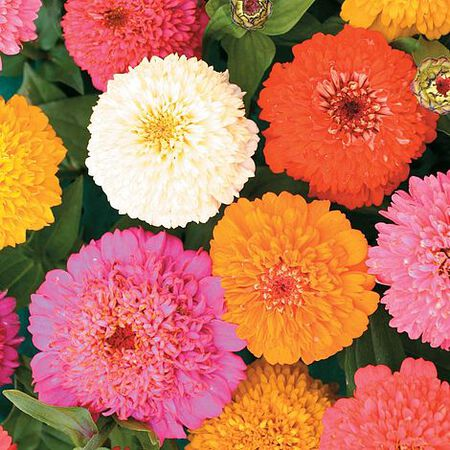 Candy Mix, Zinnia Seeds - 50 Seeds image number null