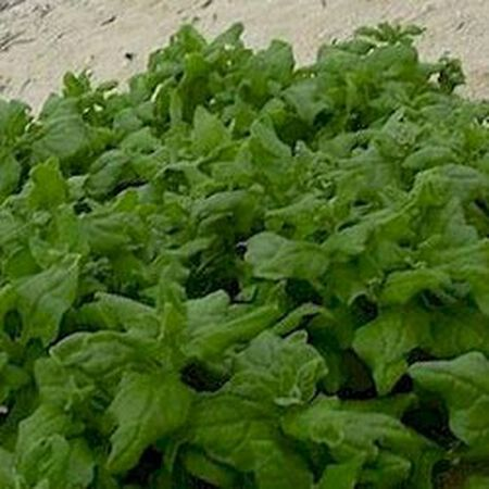 New Zealand, Spinach Seeds - Packet image number null