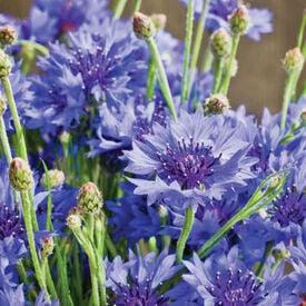 Dwarf Blue, Cornflower Seeds