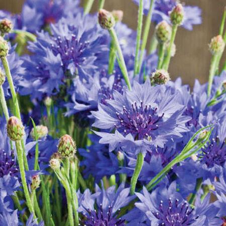Dwarf Blue, Cornflower Seeds - Packet image number null