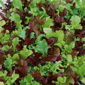 Mini Greens Blend, Lettuce Seeds