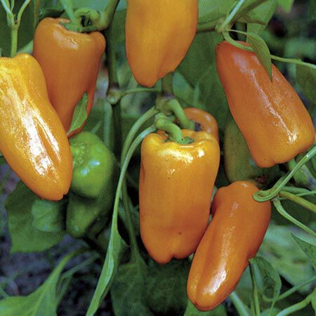 Peach Habanero, Pepper Seeds image number null