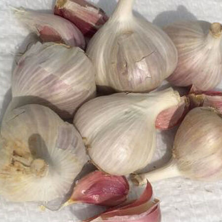 Majestic, Garlic Bulbs image number null