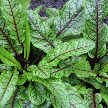 Red Veined Sorrel Seeds, Greens - Packet image number null