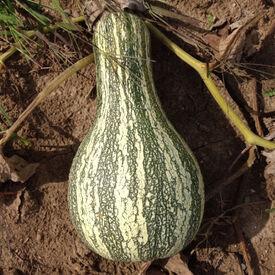 Cushaw Green Striped, Squash Seeds
