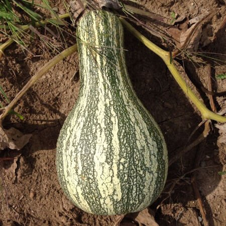 Cushaw Green Striped, Squash Seeds - Packet image number null