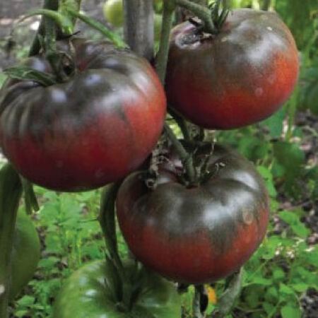 Black from Tula, Tomato Seeds - Packet image number null