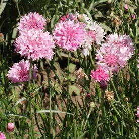 Tall Pink, Cornflower Seeds