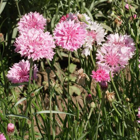 Tall Pink, Cornflower Seeds - Packet image number null