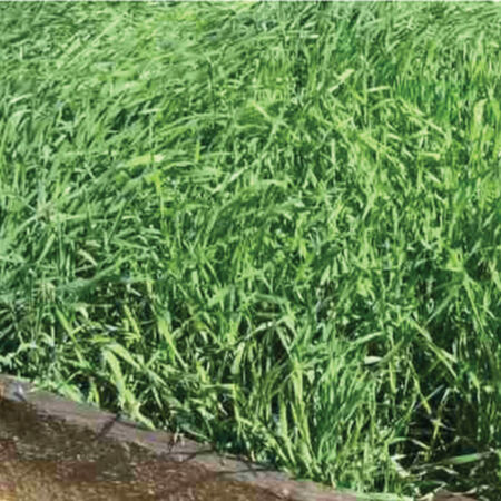 Elbon Rye, Grains - 1 Pound image number null