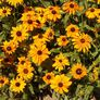 Marmalade, Rudbeckia Seeds - Packet thumbnail number null