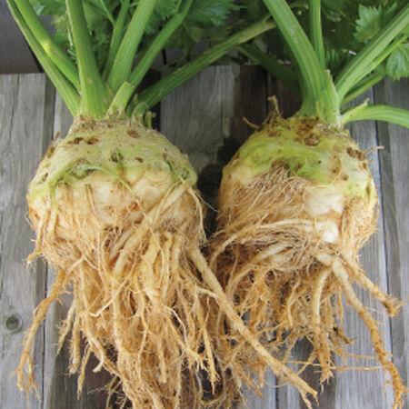 Brilliant, Celeriac Seeds image number null