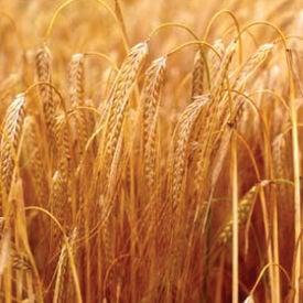 Thoroughbred Barley, Grains