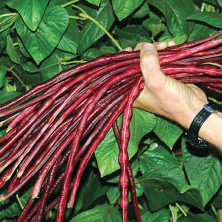 Asparagus Red Podded, Organic Bean Seeds - Packet image number null