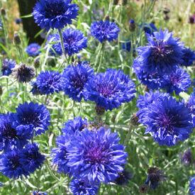 Tall Blue, Cornflower Seeds