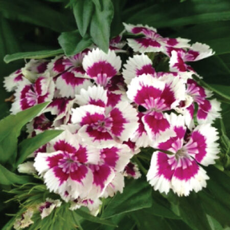 Flavora Rose Shades, Dianthus - Packet image number null