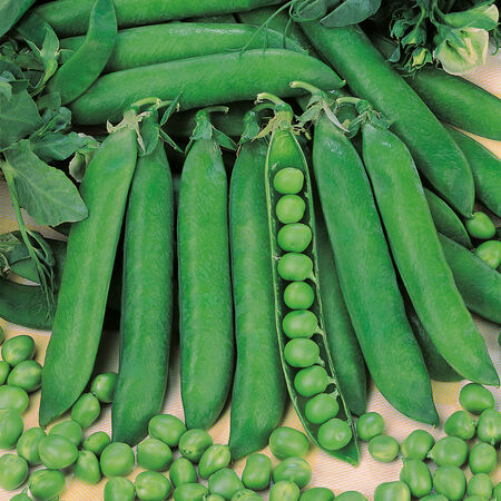 Rondo, Pea Seeds - Packet (1 oz.) image number null