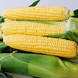 Yellowstone, (F1) Corn Seed