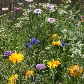 Edible Flower Blend, Wildflower Seed