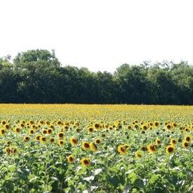 Wildlife Sunflower, Grains