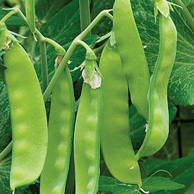 Oregon Sugar Pod II, Pea Seeds