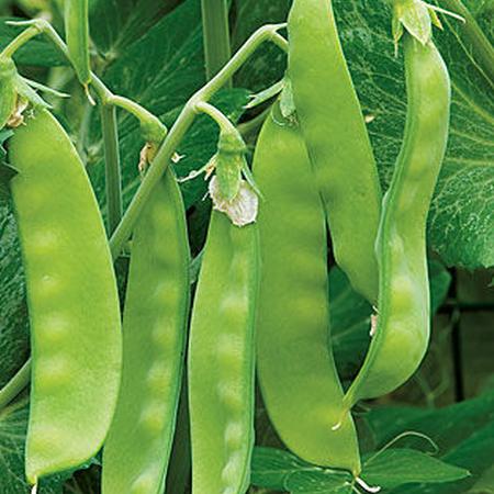 Oregon Sugar Pod II, Pea Seeds - Packet (1 oz.) image number null