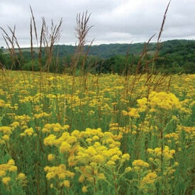 Stiff Goldenrod, Solidago Seeds