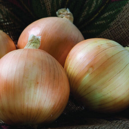 Scout, Onion Seeds - Packet image number null