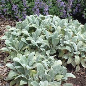 Lamb's Ear, Stachy Seeds
