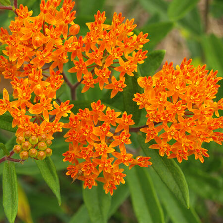 Butterfly, Asclepias (Butterfly Weed) - Packet image number null