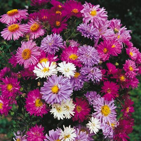 Alpinus Mix, Aster Seeds - Packet image number null
