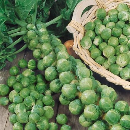 Long Island, Brussels Sprout Seeds image number null