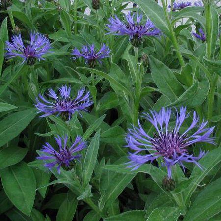 Montana (Mountain), Centaurea - Packet image number null