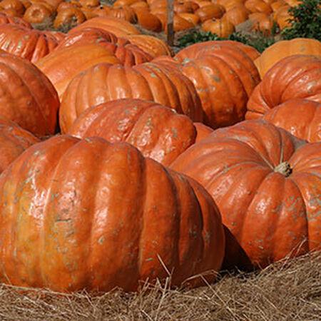 Atlantic Giant, Pumpkin Seeds - Packet image number null