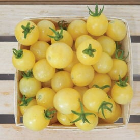Italian Ice, (F1) Tomato Seeds