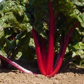 Ruby Red, Swiss Chard Seeds